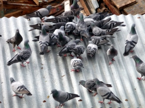Offerings to the gods become a meal for the pigeons